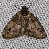7239 Sharp Green Hydriomena Moth Gold Head Branch St Pk 2-15-12