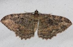 7290 Barberry Geometer Moth yard 9-8-14