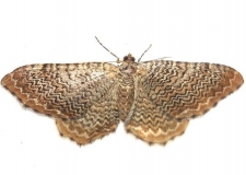 7291 Rheumaptera undulata Little Talbot Island St Fl Pk 2-19-13