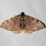 7292 Cherry Scallopshell Moth Thunder Lake UP Mich 6-23-12