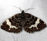 7293 Spear-marked Black Moth Rheumaptera hastata Thunder Lake Mich UP 6-24-13
