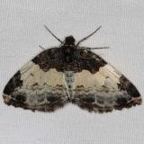 7307 White-ribboned Carpet Moth Jenny Wiley St Pk Ky 4-19-16 (2)_opt