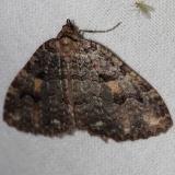 7329 Variable Carpet Moth Thunder Lake UP Mich 9-29-12