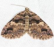7329 Variable Carpet Moth yard 4-7-13