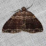 7330 Many-lined Carpet Moth Cumberland Falls St Pk Ky 4-22-14