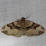 7390 Toothed Brown Carpet Moth Carter Cave St Pk Ky 4-23-13
