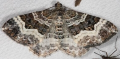 7394 White-banded Toothed Carpet Moth Lake of the Woods Ontario 7-23-16 (14a)_opt