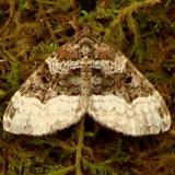 7399 Sharp-angled Carpet Moth Clearcreek Metro Pk Oh 6-9-12