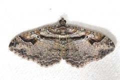 7416 Bent-line Carpet Moth Schivley Fen Logan Co 6-12-12