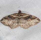 7416 Bent-line Carpet Moth yard 5-27-13