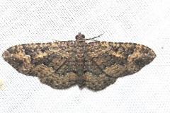 7417 Somber Carpet Moth Obed River shed Tenn 8-26-12