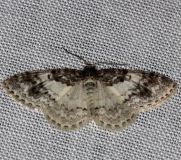 7419 Light Carpet Moth Thunder Lake Mich UP 6-22-13