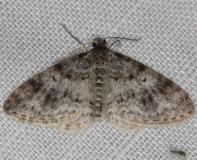 7422 Unadorned Carpet Moth Thunder Lake Mich 6-21-13