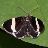 7430 White-striped Black Moth Webster Rd Hocking Co Oh 5-22-15