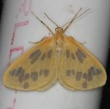 7440 The Beggar Moth yard 6-2-13