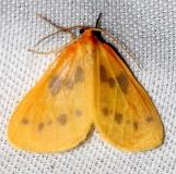 7441 Little Beggar Moth Lake Kissimmee St Pk 3-1-13