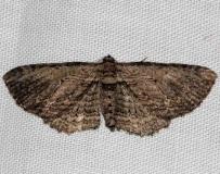 7445 Brown Bark Carpet Moth Village Creek St Pk Texas 11-9-13