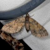 7449 Small Pine Looper Moth Thunder Lake Mich 6-21-13