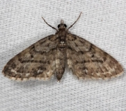 7453 Peck's Pug Moth Thunder Lake Mich 6-21-13
