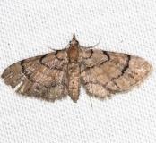 7453 Peck's Pug Moth yard 5-2-13