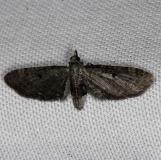 7474 Common Eupihecia Moth Kissimmee Prairie St Pk 2-14-14