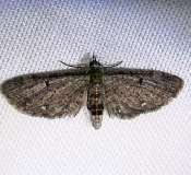 7474 Common Eupithecia Moth Grasshopper Lake Ocala Natl 3-15-12