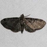 7474 Common Eupithecia Moth yard 5-30-14 (11)_opt