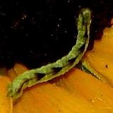 7474 Common Pug Moth caterpillar yard 7-30-10