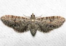 7486 Eupithecia jejunata Lake Kissimmee St Pk Fl 2-27-13