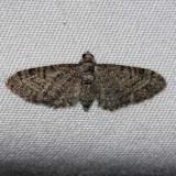 7486 Eupithecia jejunata Lake Kissimmee St Pk 3-8-14