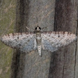7487 Gray Pug Moth Faver-Dykes St Pk Fl 2-22-15