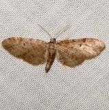 7509.1 Eupithecia matheri High falls St Pk Georgia 4-1-11