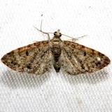 7520 Eupithecia satyrata Lake Kissimmee St Pk Fl 2-28-13