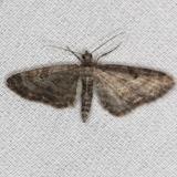 7520 Eupithecia satyrata Thunder Lake UP Mich 6-21-13