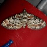 7575 Cloaked Plug Moth Thunder Lake Mich UP 6-22-13