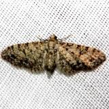 7609.97 Unidentified Eupithecia Lake Kissimmee St Pk 2-27-13