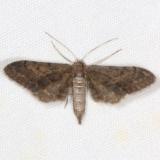 7609.99 Unidentified Eupithecia Moth Campsite 119 Falcon St Pk BG Texas 10-23-16_opt