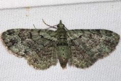7625 Green Pug Moth yard 6-1-16 (45a)_opt