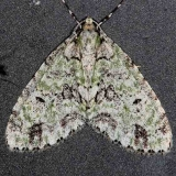 7637 Mottled Gray Carpet Moth Cumberland Falls St Pk Ky 4-22-14