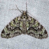 7637 Mottled Gray Carpet Moth Cumberland Falls St Pk Ky 4-23-14