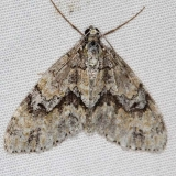7638 Angle-lined Carpet Moth Jenny Wiley St Pk Ky 4-19-16 (41a)_opt