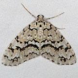 7639 Scribbler Moth Jenny Wiley St Pk Ky 4-19-16 (110a)_opt