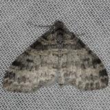 7640 Powdered Bigwig Moth Thunder Lake UP Mich 6-23-13