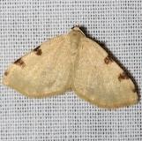 7647 Three-spotted Fillip Moth Jenny Wiley St Pk Ky 4-26-12