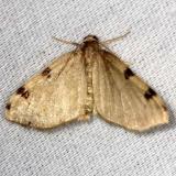 7647 Three-spotted Fillip Moth yard 8-15-13