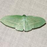 7648 Badwing Moth Jenny Wiley Ky 4-26-12