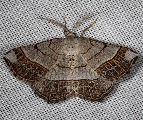 6272 Brown-bordered Geometer Moth Thunder Lake Mich UPa 6-24-13 (51)