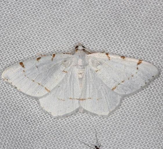 6273 Lesser Maple Spanworm Moth yarda 7-17-13 (53)