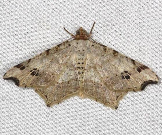 6326 Common Angle Moth yard 4-26-13