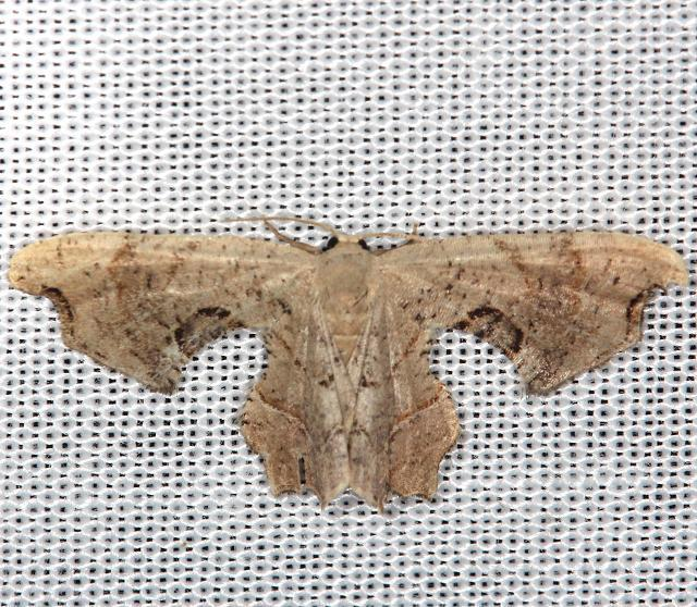 7653 Brown Scoopwing Calledateryx dryopterata yard 6-8-13